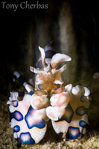 Steamed: Harlequin Shrimp with slow shutter pan. F18, 4 s... by Tony Cherbas 
